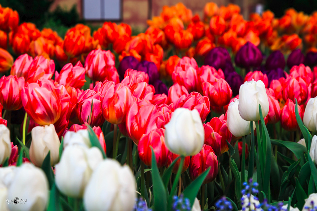 Sea-of-tulips.jpg