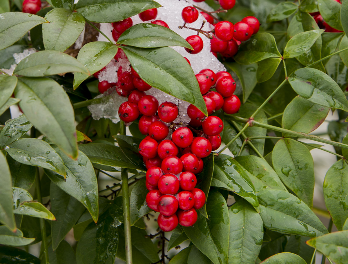 berries-crop.jpg
