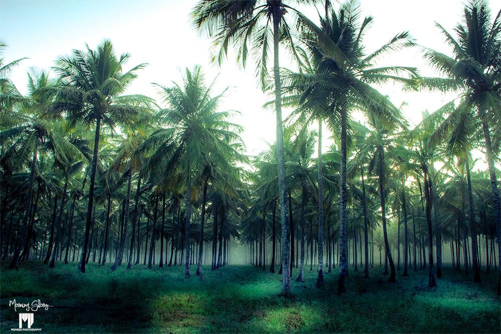 morning-glory-cocunut-tree.jpg