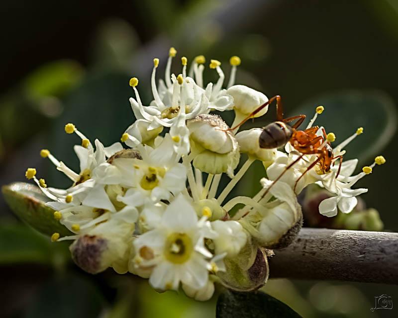 Ant-on-flower.jpg
