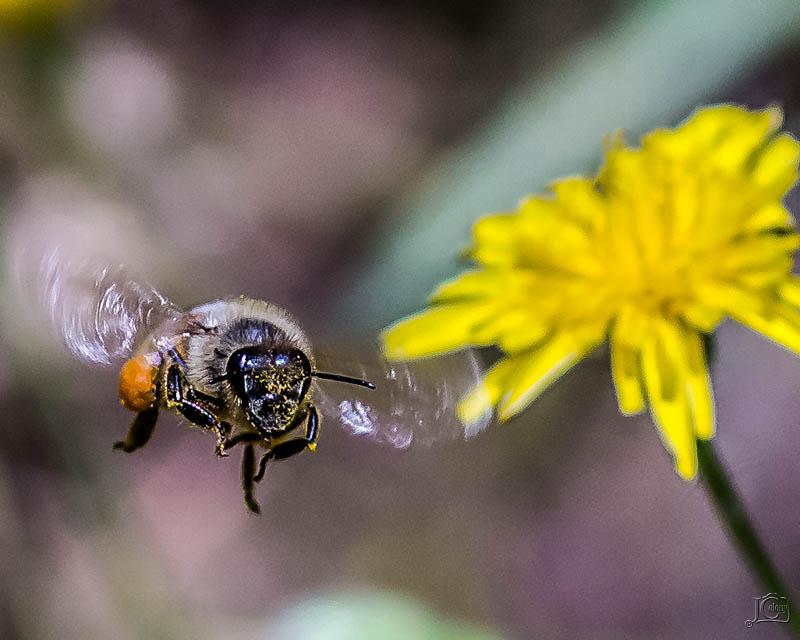 Bee-in-flight.jpg
