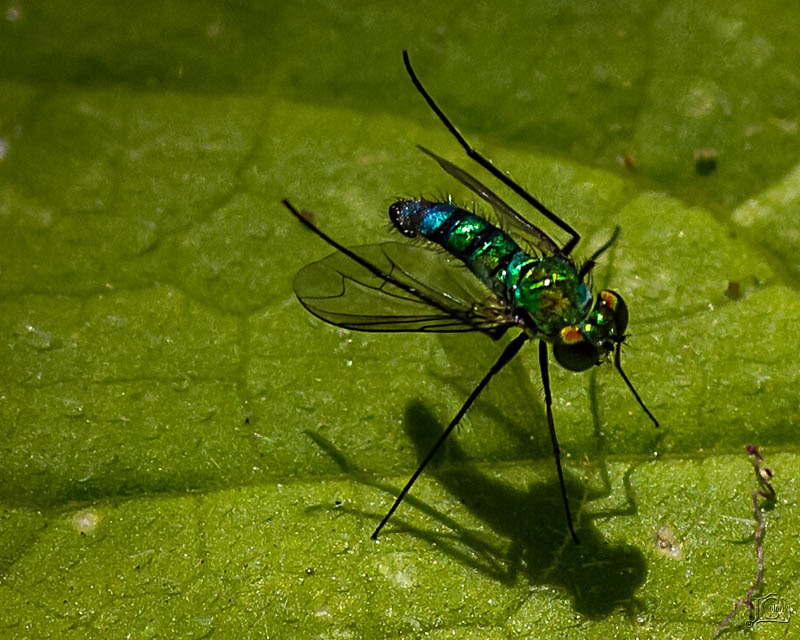 Long-leg-fly.jpg