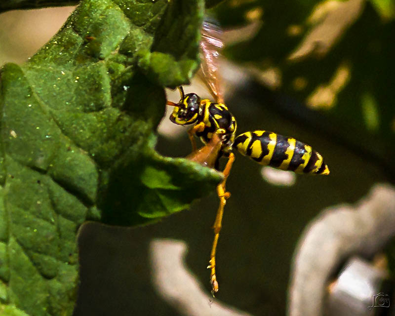 Wasp-1.jpg