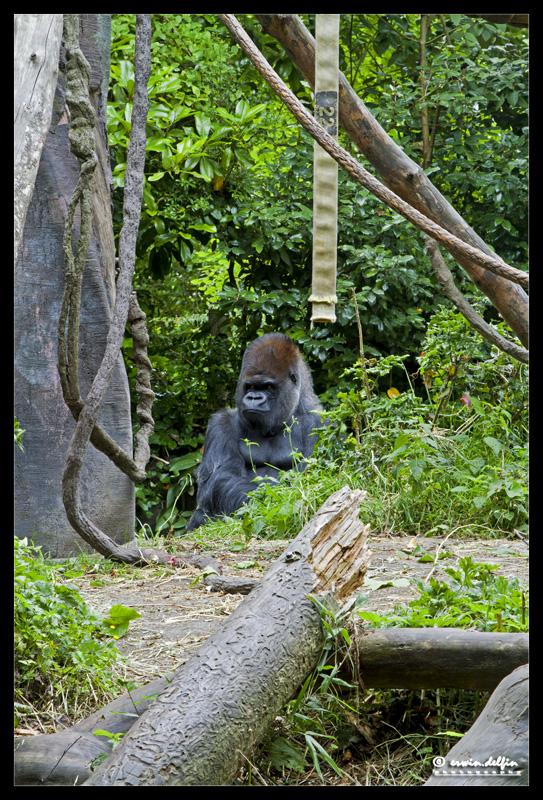 https://easy-exposure.com/wp-content/uploads/2012/08/3dx0h-Gorilla_zoo.jpg