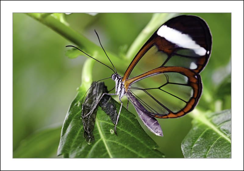 https://easy-exposure.com/wp-content/uploads/2012/10/c23bt-Greta-morgane-oto-Glasswinged-Butterfly.jpg